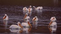 Migration is paused for American White Pelicans
