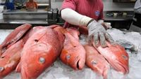 Gulf of Mexico charter red snapper season June 1-July 21