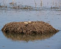 Whooping crane chick: Louisiana's 1st in wild since 1939