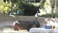 Police look into video of man spanking hippo at Los Angeles Zoo