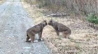 WATCH: Argument between screeching lynxes goes viral