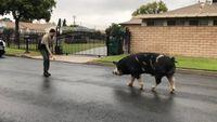 Deputies use Doritos to lure wayward pig back home