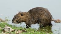 Nutria spotted around City Park Lakes, best left alone