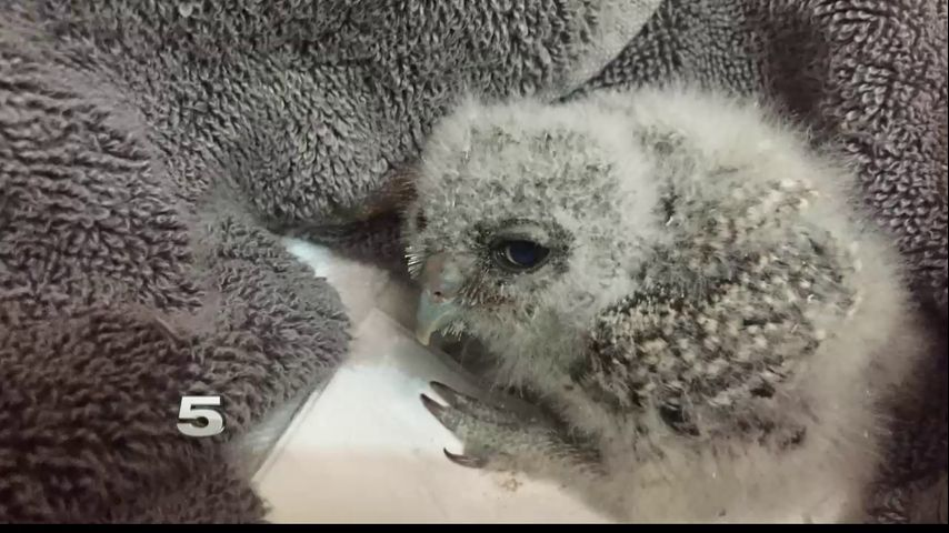 Fallen from nest, baby owl shows wildlife challenges of Valley border wall construction