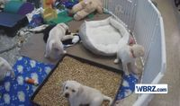 Future service dogs play together in adorable video