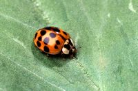 Asian lady beetles may create nuisance with