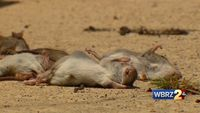 Rodents taking over neighborhood near Shenandoah