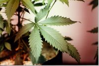 Story image: Columbia councilman wants to see medical marijuana legalized