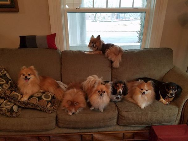 Our 6 poms along with our two grand dogs. - Deana Gentry