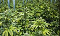 Story image: Medical marijuana dispensary licenses announced, seven in Columbia