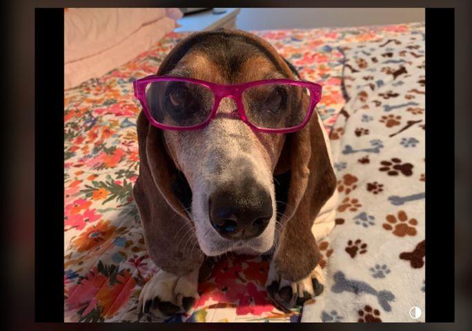 Tootsie the Basset Hound wearing her glasses to watch KOMU! - Kathy Mayes