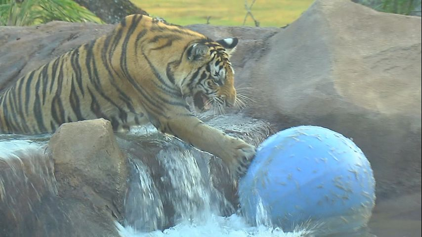 Lsu Caretakers Respond To Mike The Tiger Pouncing Video