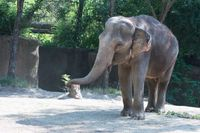 Story image: St. Louis Zoo elephant Ellie treated for tuberculosis