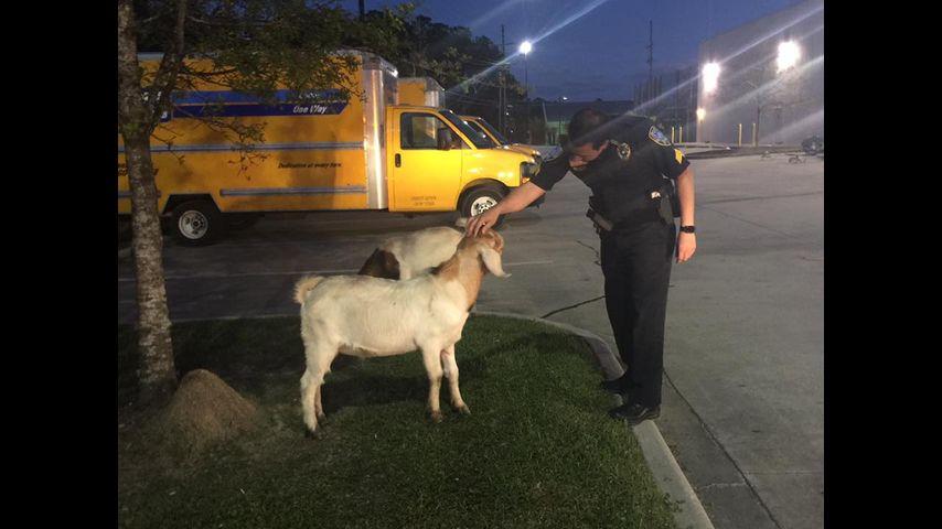 Slidell Police Help Return Roaming Goats To Owner
