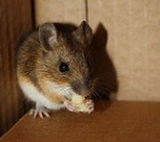 Mid-Missouri pest control experts warn mice want indoors