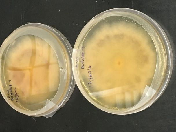 Petri dishes filled with mold grown from a sample collected at an Elizabeth Street residence.