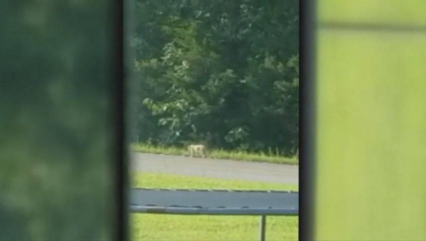 Mountain lion sighted near Strafford in Greene County