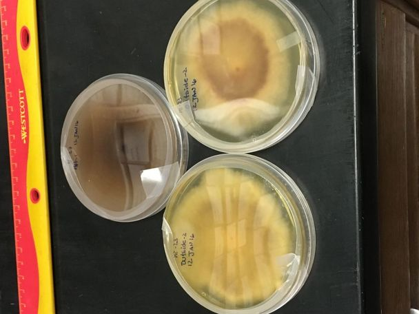 Petri dish filled with mold grown from a sample collected at an Elizabeth Street residence.