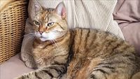 Vets advise cat owners to keep them indoors to limit spread of coronavirus